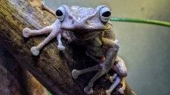 Borneo Eared Tree Frog Face