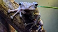 Borneo Eared Tree Frog Face