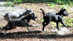 2017-7-4 3 pups run_0016